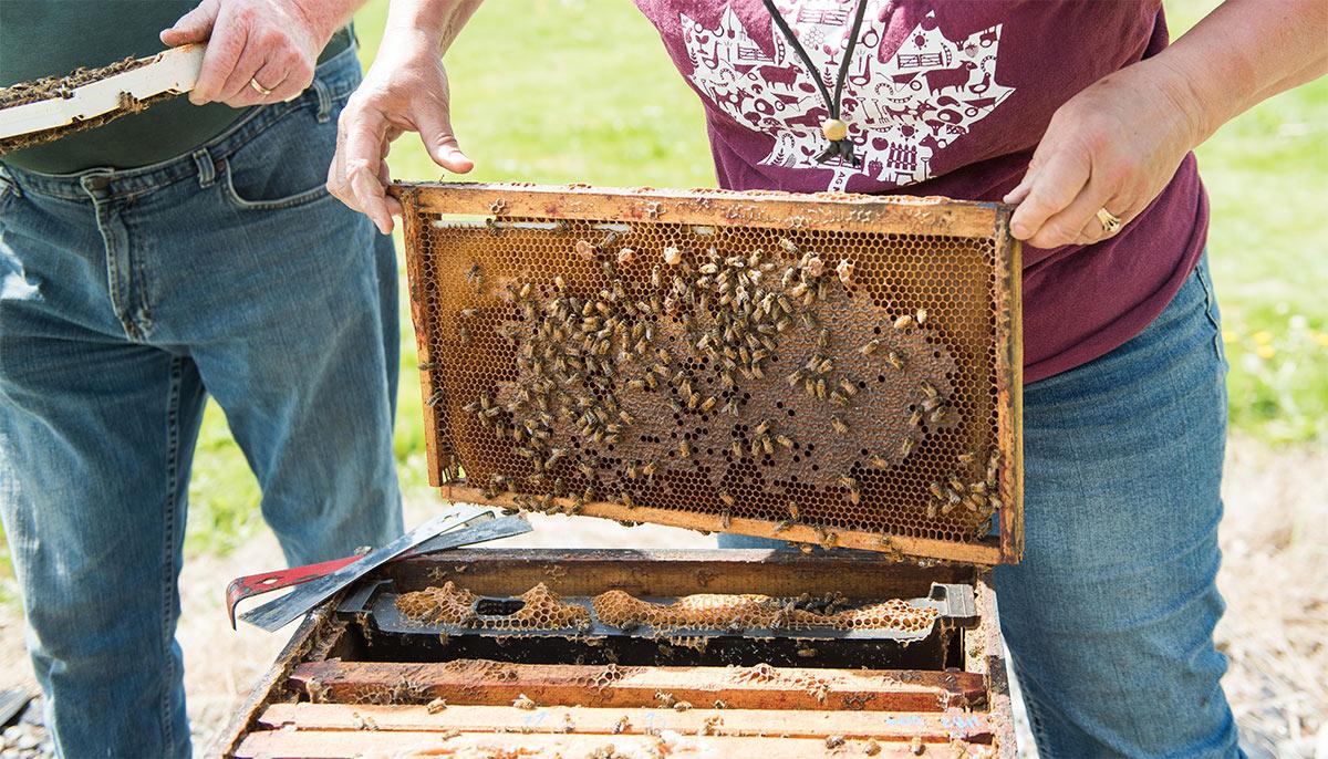 Campbells Gold - wooden frame hives