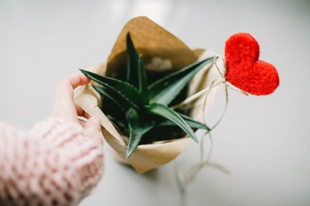 valentine's potted plant